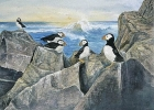 Puffins at Rest